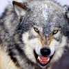 wolfdog916